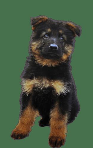 Reserve Your Motto Creek German Shepherd Puppy